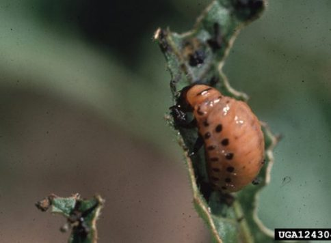 Larva on potato plant