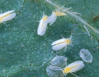 Adult silverleaf whitefly and egg cases