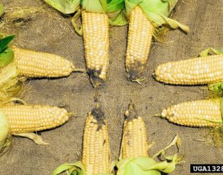 Damage to corn ears by cotton boll worm - Conventional treatment used on top and bottom corn and Bt treatment used on corn to the sides