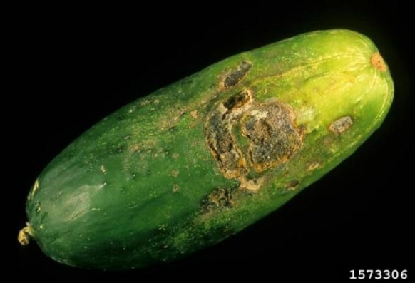 Belly rot of cucumber caused by Rhizoctonia solani