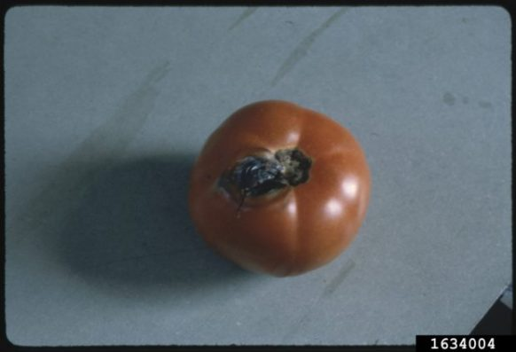 Early blight symptoms on tomato fruit