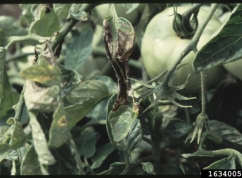 Early blight symptoms on tomato plant
