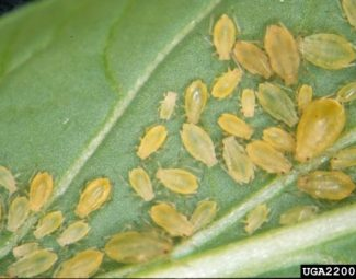 Multiple life stages of the green peach aphid