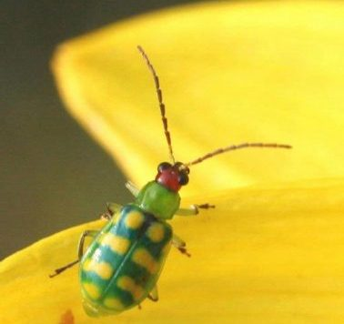 Banded cucumber beetle adult on common sunflower
