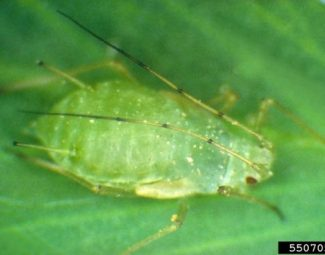 Adult pea aphid - one of the largest of the common aphids