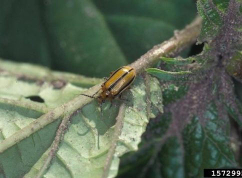 adult striped cucumber beetle
