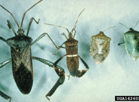 Several species of leaf-footed bugs, pictured here on the left, and most stink bugs, here on the right, are plant feeders.