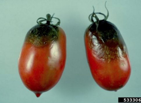 Late blight (Phytophthora infestans) symptoms on tomatoes.