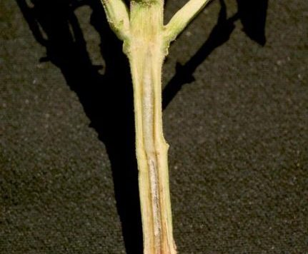 Stem of a bean plant cut away to show infection of the vascular system by fusarium wilt.