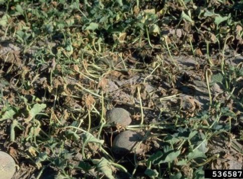A field of melons showing fusarium wilt infection caused by Fusarium oxysporum.