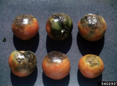 Late blight (Phytophthora infestans on tomatoes.