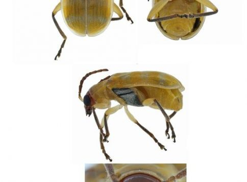 Multiple views of the banded cucumber beetle