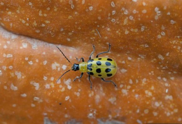 Spotted cucumber beetle on pumpkin.