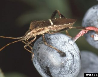 Adult leaf-footed bug on blueberry plant