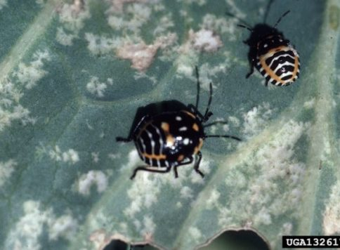 Nymphs and associated injury on Cabbage.