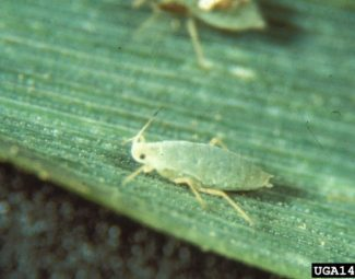 Russian wheat aphid are imported pests of small grains