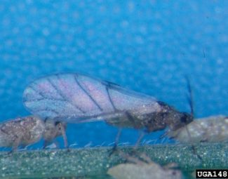 alate adult, Russian Wheat Aphid