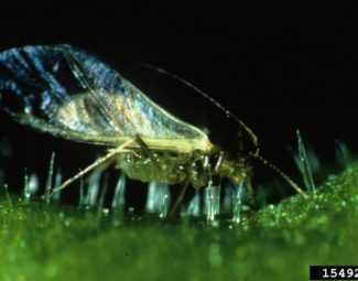 adult green peach aphid