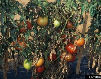 Diseased tomato plants and fruit caused by early blight