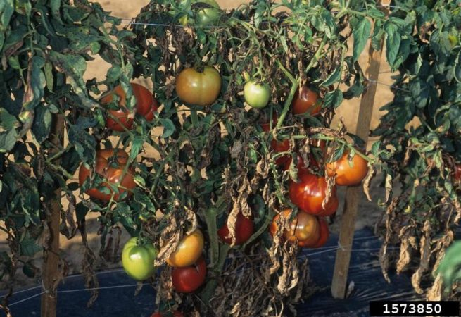 Diseased tomato plants and fruit