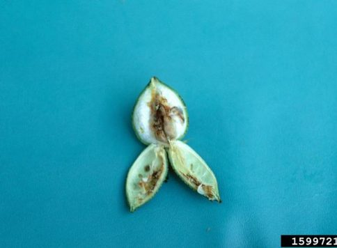 damage to cotton plant by boll weevil