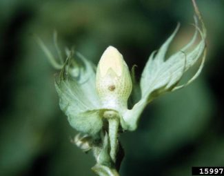 boll weevil;egg laying