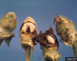 punctured square, boll weevil larva, pupa, and adult stages (left to right)