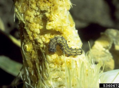 Corn earworm (Helicoverpa zea) feeding on an ear of sweet corn.
