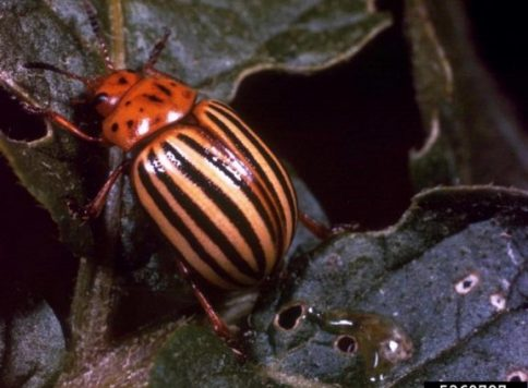 Adult Colorado potato beetle (Leptinotarsa decemlineata).