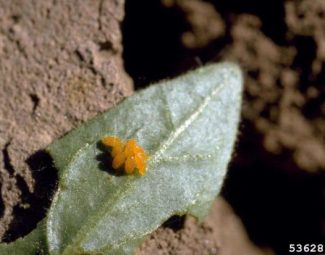 Eggs of the Colorado potato beetle (Leptinotarsa decemlineata) on the underside of a black nightshade leaf (Solanum nigrum)