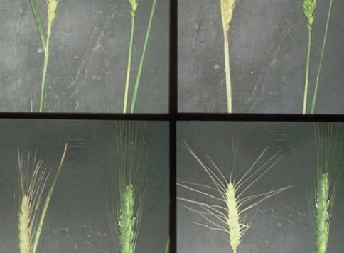 Damage to seedheads of wheat caused by the Russian wheat aphid (Diuraphis noxia).