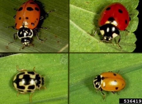 Collection of four images of lady beetle species, potential predators of the Russian wheat aphid (Diuraphis noxia).
