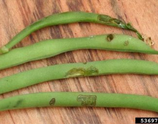 Adult chewing injuries to snap bean pod
