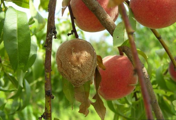 brown rot symptoms on a peach tree