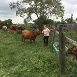 cattle, cows, grassfed beef