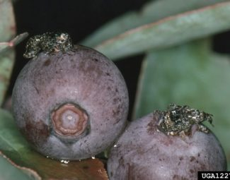 Plum curculio adults on southern blueberries