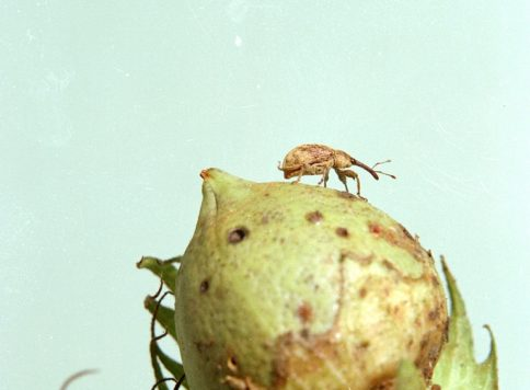 Adult boll weevil on cotton