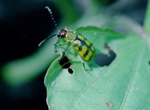Adult banded cucumber beetle on sweet potato leaf