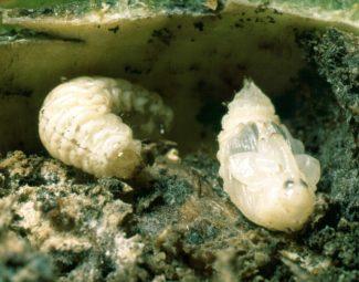 Boll weevil larva and pupa