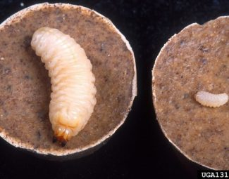 Young (left) and older larvae of the diaprepes root weevil (citrus root weevil) on an artificial diet (cakes) developed by ARS