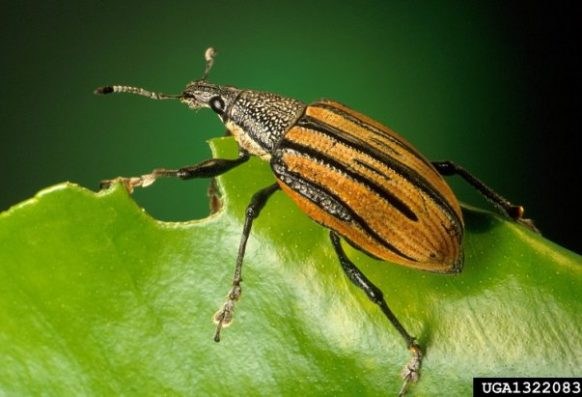 Adult citrus root weevil on leaf