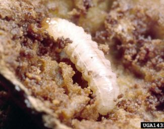 Larva of the plum curculio