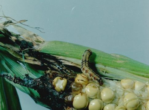 Cotton bollworm larva on corn