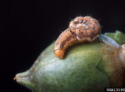 A normal, 12-day-old cotton bollworm larva raised on a control diet
