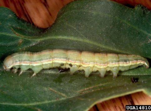 Beet armyworm larva