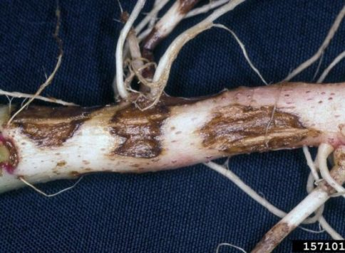 Rhiszoctonia disease symptoms on potato plant