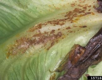 Bottom rot of lettuce caused by Rhizoctonia solani