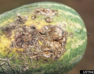 Scabby lesions on the ground scar of a watermelon due to Rhizoctonia disease