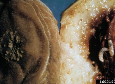 Plum curculio larvae in a peach