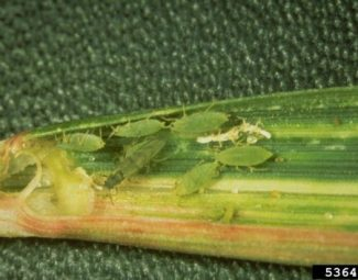 Colony of russian wheat aphid in wheat leaf